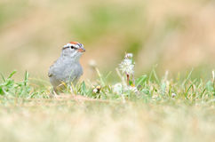 Chipping sparrow on grass Royalty Free Stock Photos