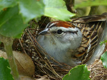 Chipping Sparrow On Her Nest. Closeup of a female chipping sparrow sitting on her nest royalty free stock photo