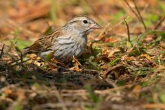 Chipping Sparrow. Juvenile Chipping Sparrow standing on the forrest floor royalty free stock photos