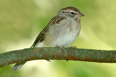 Chipping Sparrow. Juvenile Chipping Sparrow perched on a branch stock photos