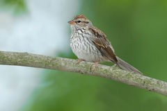 Chipping Sparrow Royalty Free Stock Photo