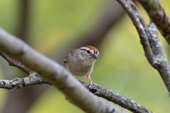 Chipping Sparrow. A little chipping sparrow perched on a limb in a tree royalty free stock images