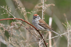 Chipping Sparrow male. Perched on branch early spring Royalty Free Stock Photo