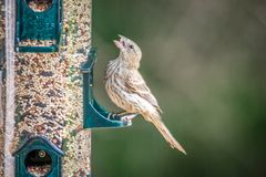 Chipping sparrow in nature eating seeds royalty free stock photo