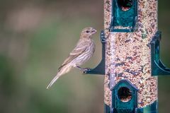 Chipping sparrow in nature eating seeds royalty free stock photography