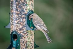 Chipping sparrow in nature eating seeds royalty free stock images