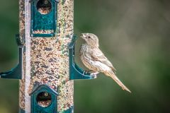 Chipping sparrow in nature eating seeds stock image