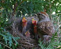 Chipping Sparrow in nest Stock Images