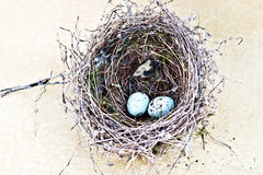 Chipping sparrow nest and eggs Royalty Free Stock Images