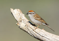 Chipping Sparrow. Oregon, US Stock Photography