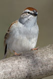 Chipping Sparrow Stock Photography