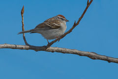 Chipping Sparrow. Perched on a branch stock photography
