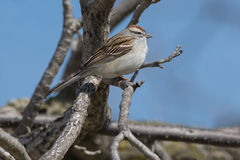 Chipping Sparrow. Perched on a branch stock image