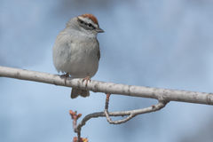 Chipping Sparrow. Perched on a branch royalty free stock photography