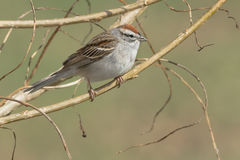 Chipping Sparrow. Perched on a branch royalty free stock photo