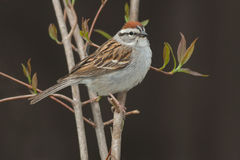 Chipping Sparrow. Perched on a branch royalty free stock images