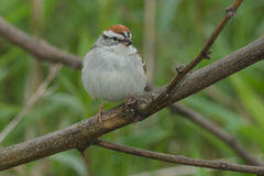Chipping Sparrow. Perched on a branch royalty free stock photos