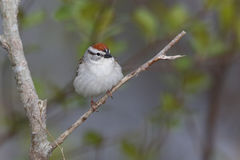 Chipping Sparrow Perched on a Branch. Chipping Sparrow (Spizella passerina) Perched on a Branch - Grand Bend, Ontario, Canada stock photos