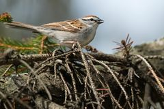 Chipping Sparrow. Perched on an conifer branch. Colonel Samuel Smith Park, Toronto, Ontario, Canada royalty free stock images