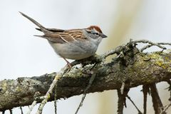 Chipping Sparrow. Perched on an conifer branch. Colonel Samuel Smith Park, Toronto, Ontario, Canada royalty free stock photo