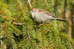 Chipping Sparrow. Perched on an evergreen branch stock images