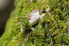 Chipping Sparrow - Spizella passerina. Chipping Sparrow perched on an evergreen branch. Colonel Samuel Smith Park, Toronto, Ontario, Canada royalty free stock images