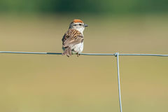 Chipping Sparrow. Perched on a page wire fence stock image