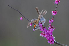 Chipping Sparrow. Chipping Sparrow perched in a redbud tree. Taken during spring in Kentucky stock image