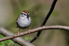 Chipping Sparrow Perched in a Tree Royalty Free Stock Images