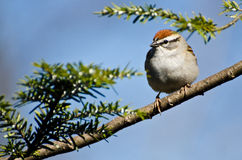 Chipping Sparrow Perched in a Tree Stock Images