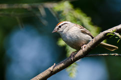 Chipping Sparrow Perched in a Tree. Against a Light Blue Background royalty free stock image