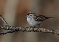 Chipping sparrow portrait Royalty Free Stock Images