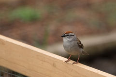 Chipping Sparrow. Perching on wood royalty free stock photo