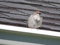 Chipping Sparrow. Resting royalty free stock photos