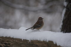 Chipping sparrow in the snow. Stock Images