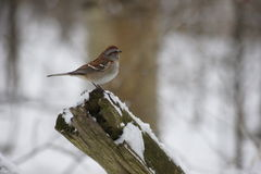 Chipping Sparrow, Snow covered log. Royalty Free Stock Photo