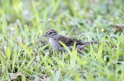 Chipping Sparrow Bird, Athens Georgia USA. Chipping Sparrow songbird in backyard grass. Athens, Clarke County, GA. The chipping sparrow, Spizella passerina, is a stock images