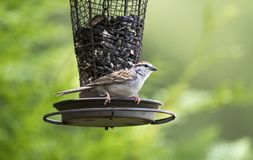 Chipping Sparrow Bird, Athens Georgia USA. Chipping Sparrow songbird perched on black oil sunflower seed bird feeder in backyard. Athens, Clarke County, GA. The stock photo
