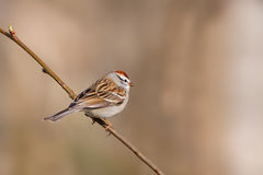 Chipping Sparrow , Spizella passerina. Chipping sparrow on a perch in the morning light royalty free stock photography