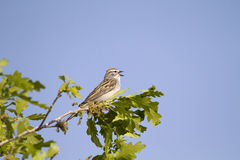 Chipping Sparrow, Spizella passerina. Male Chipping Sparrow sings to defend his territory in spring stock photos