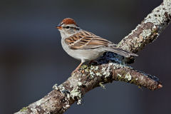 Chipping Sparrow (Spizella passerina). Adult chipping sparrow perched on tree branch royalty free stock images