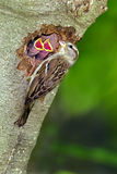 Chipping Sparrow (Spizella passerina). Chipping Sparrow at nest hole with hungry chicks stock photography