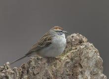 Chipping Sparrow. Spizella passerina, Bernardsville, New Jersey royalty free stock images