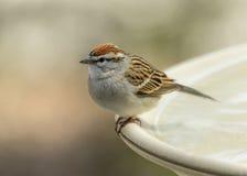 Chipping Sparrow. Spizella passerina, Bernardsville, New Jersey stock image