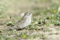 Chipping Sparrow (Spizella passerina). Chipping sparrow in Colorado during migration season royalty free stock images