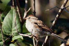 Chipping sparrow. Spizella passerina,little bird on a branch royalty free stock image