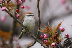 Chipping Sparrow (Spizella passerina passerina) Royalty Free Stock Images