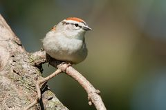Chipping Sparrow - Spizella passerina. Chipping Sparrow perched on the bare branch of an evergreen tree. Colonel Samuel Smith Park, Toronto, Ontario, Canada stock photography