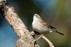 Chipping Sparrow - Spizella passerina. Chipping Sparrow perched on the bare branch of an evergreen tree. Colonel Samuel Smith Park, Toronto, Ontario, Canada royalty free stock photography