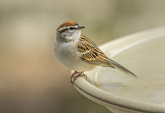 Chipping Sparrow. Spizella passerina perched on the edge of a bird bath stock images